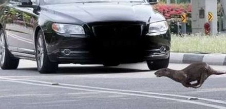 Motorists and Cyclists Advised to Look Out for Stray Otters